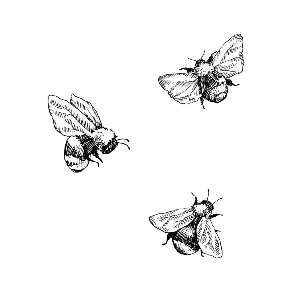 Ilustraciones de moscas. Bumblebee insect animal engraving vector illustration. Black and white hand drawn image.
